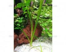Валлиснерия Тигровая (Vallisneria spiralis Tiger) S до15см 10 шт