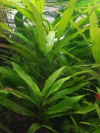 Гигрофила лимонник узколистный (Nomaphila stricta sp.) размер 20 см