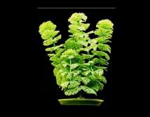 Искусственное растение Hagen Marina Ambulia 30см