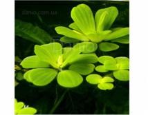 Пистия или Водяной салат (Pistia stratiotes) 10 шт
