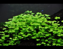 Гидрокотила Трипартита, 10 см (цена за 5 веток) (Hydrocotyle tripartita)