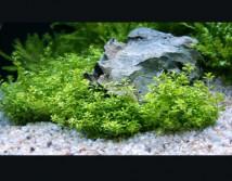 Микрантемум малоцветковый (10шт по 15 см) (Micranthemum micranthemoides)