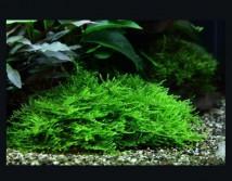 Мох яванский (пучок 5х5см) Vesicularia Moss