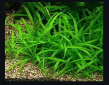 Стрелолист шиловидный (Sagittaria subulata) размер - S